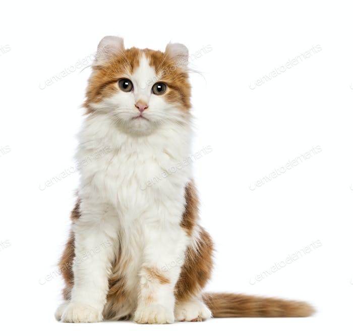 American Curl kitten, 3 months old, sitting and looking at the camera in front of white background