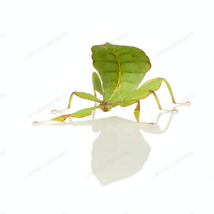 leaf insect, Phylliidae - Phyllium sp