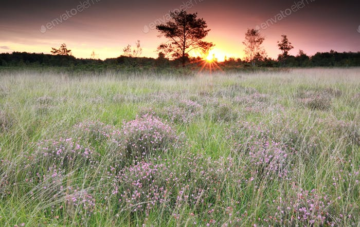 purple sunrise over marsh with heather