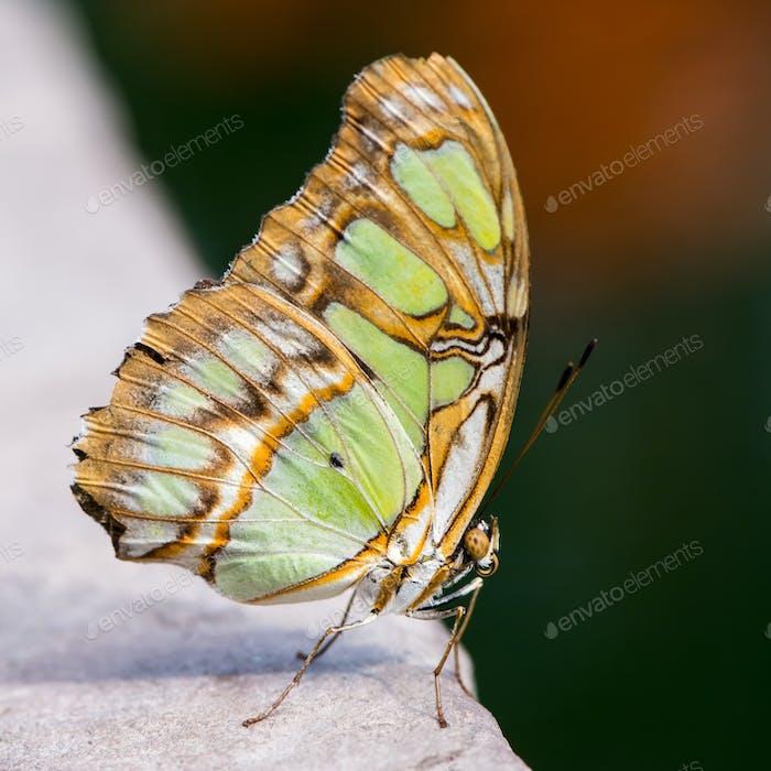 Siproeta Stelenes Butterfly