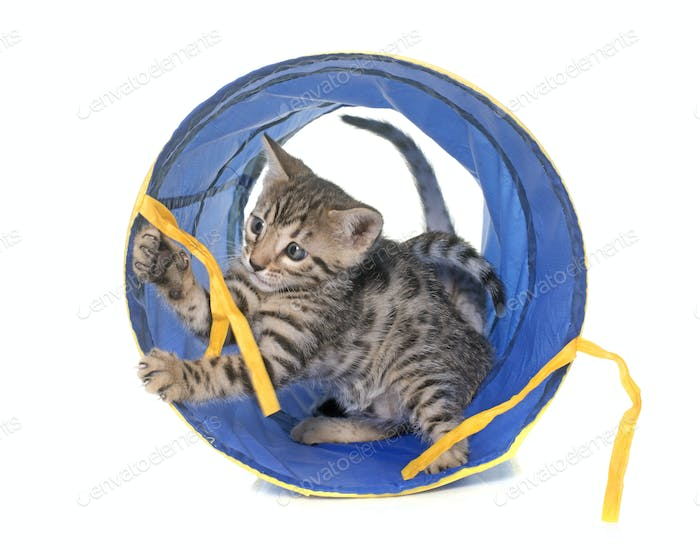 bengal kitten in tunnel