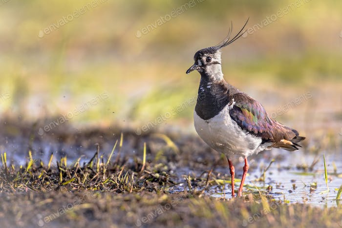 Northern Lapwing in wetland