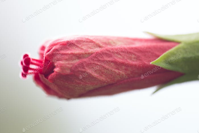 Close up image of single red closed rose