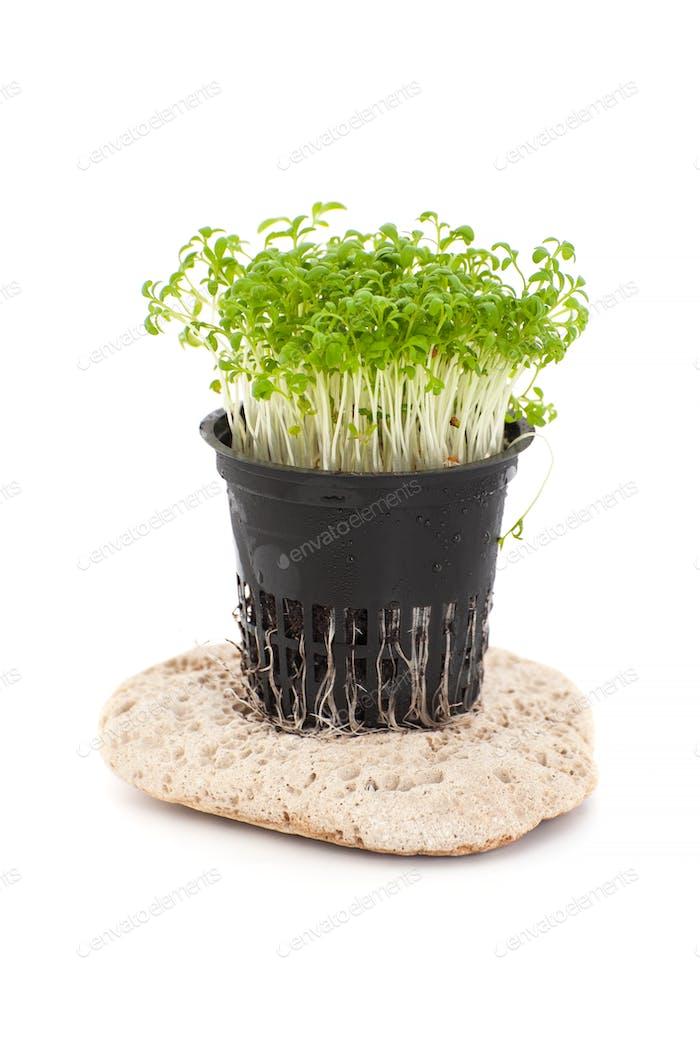 Fresh Cress Salad (Lepidium sativum) growing in a pot on a white