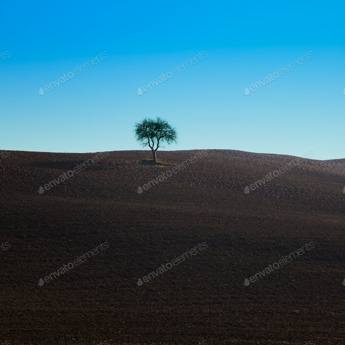 Lonely tree on a typical dark soil field near Siena.