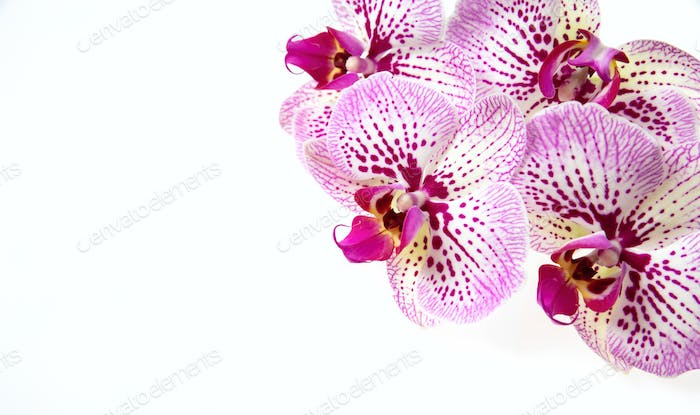 Orchid flowers and green stem isolated on white background