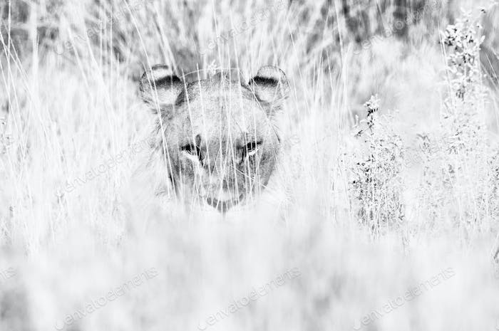 Lion hiding in the grass. Monochrome