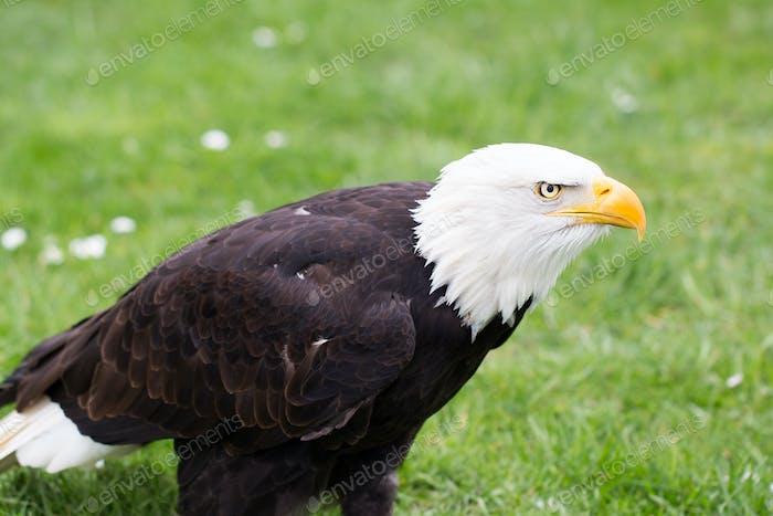 Портрет лысыго орла на траве.