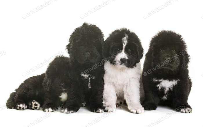 puppies newfoundland dog