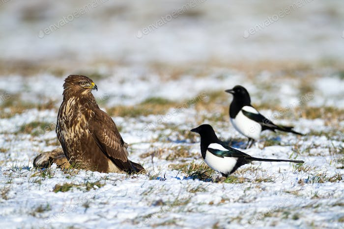 Adult common buzzard with its prey disturbed by annoying eurasian magpies