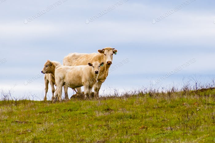 Cow with two calves on a cloudy sky background, south San Francisco bay area, San Jose, California
