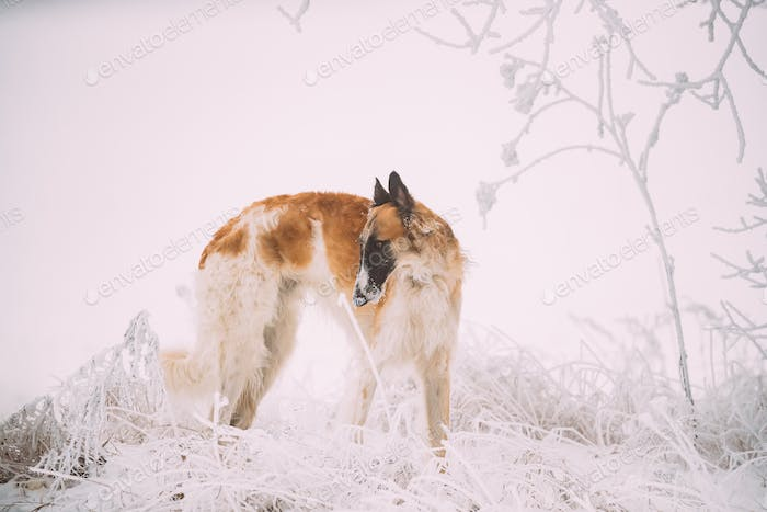 Russian Wolfhound Hunting Sighthound Russkaya Psovaya Borzaya Do