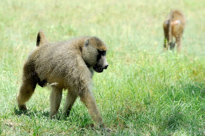 Olive baboon in Masai Mara National Park of Kenya