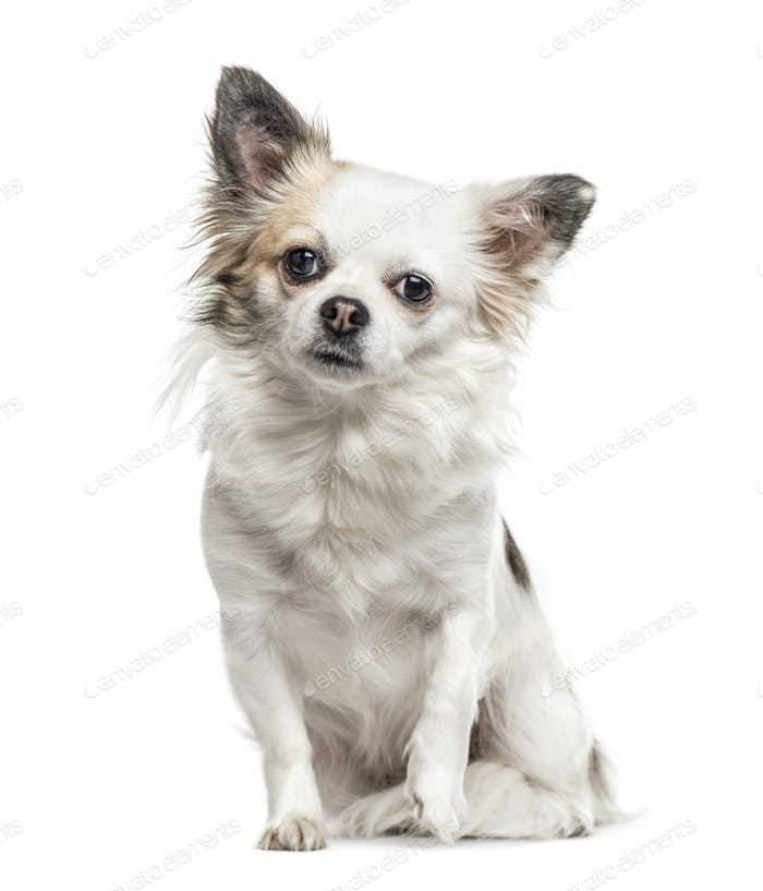 Chihuahua sitting, isolated on white