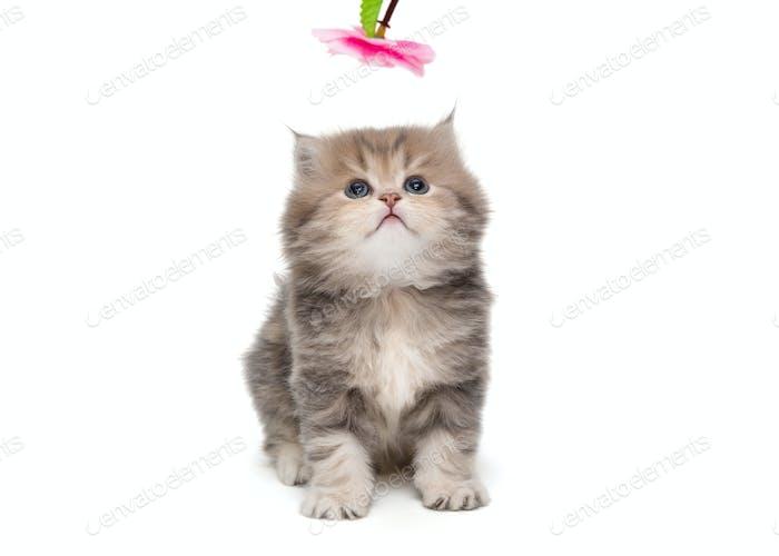 Shaggy, grey, little British kitten