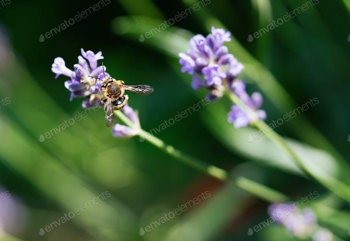 Honeybee Fütterung auf einem einzigen Stamm aus englischem Lavendel mit einem natürlichen grünen Hintergrund