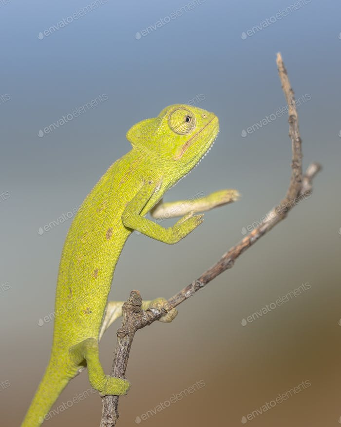 African chameleon balancing on stick