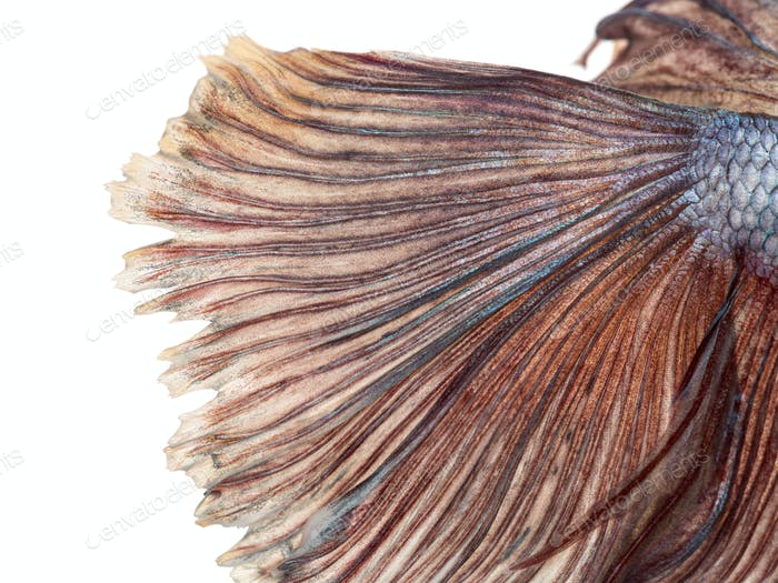 Close-up of a Siamese fighting fish's caudal fin, Betta splendens, isolated on white