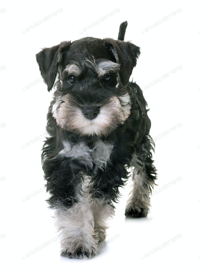 Thumbnail for puppy miniature schnauzer