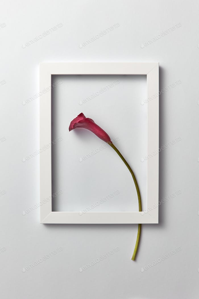 Flowering frame with natural calla lily flower on a light gray background