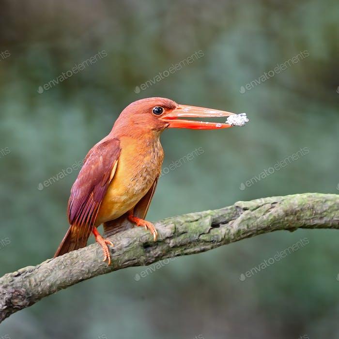 weiblich Ruddy Kingfisher