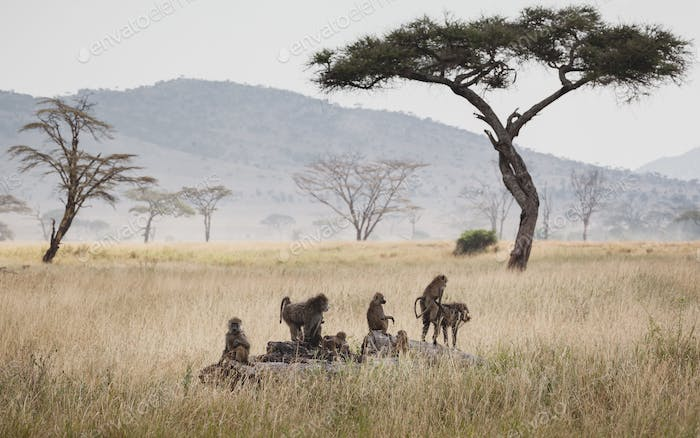 Animals in the wild - Group of baboons in the Serengeti plains, Tanzania