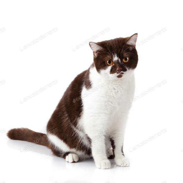 beautiful british cat on white