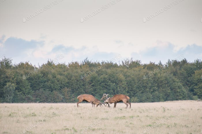 Red deer, Cervus elaphus in rutting season in Denmark