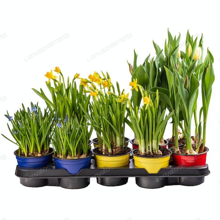 Muscari, narciso y tulipán