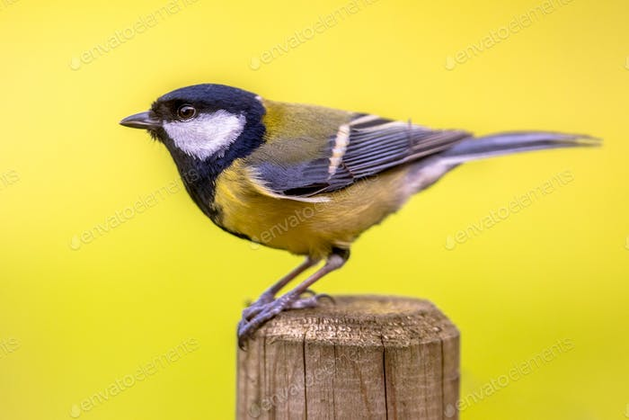 Side view of Great tit garden bird perched on pole post