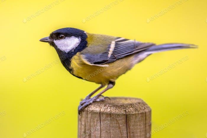 Seitenansicht von Großmeise Garten Vogel thront auf Pfosten