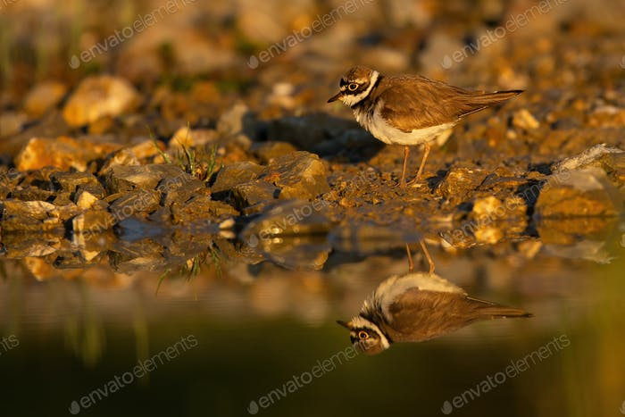 Little ringed plover standing on the riverbank in autumn