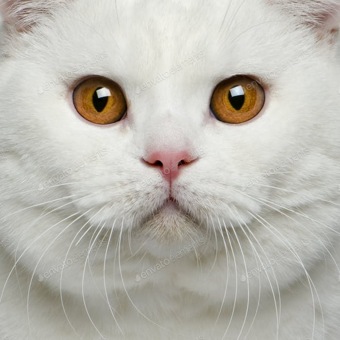 Close-up of British shorthair cat, 15 months old