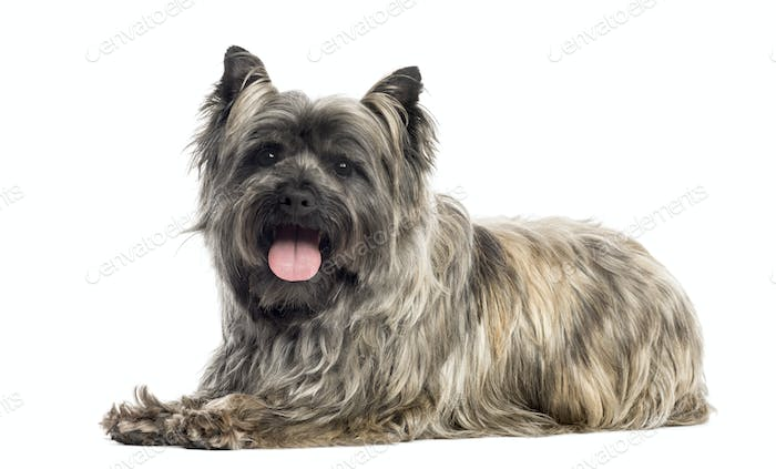 Side view of a Cairn Terrier panting, isolated on white