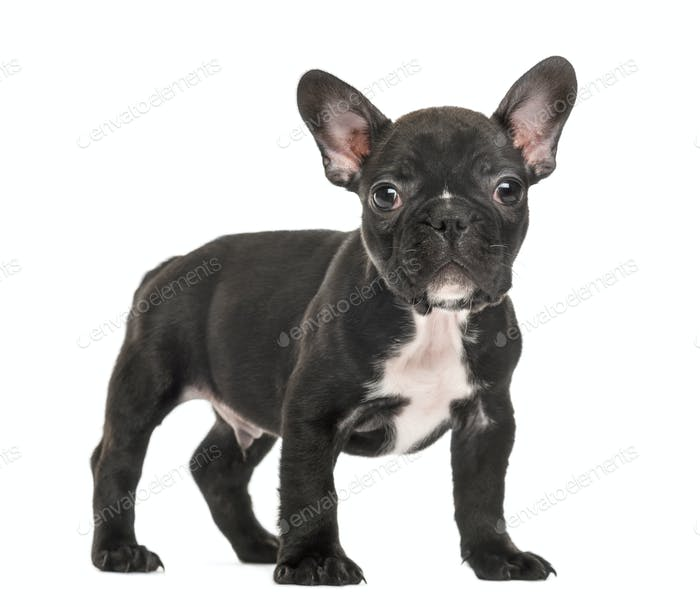 Puppy French Bulldog standing, 2 months old, isolated on white