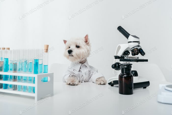adorable west highland white terrier working with microscope and test tubes in lab