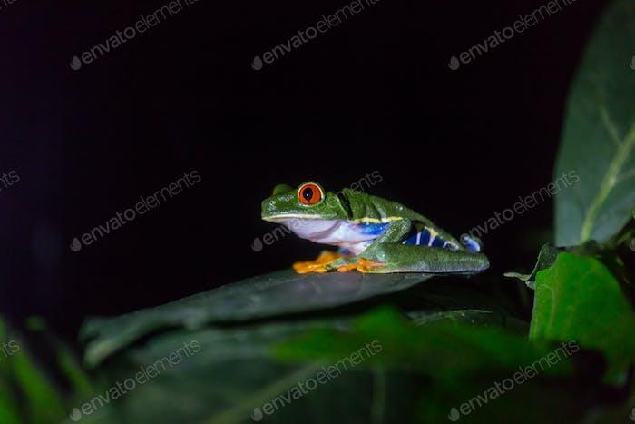 Frog in Costa Rica