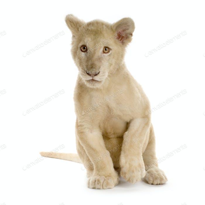 white Lion Cub (5 months)