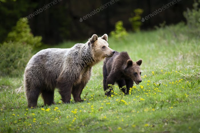 Harmonious bear family watching around on spring green meadow with wildflowers