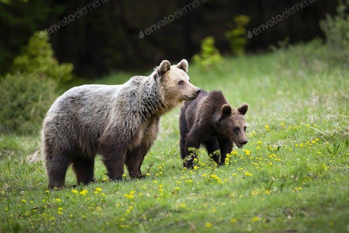 Harmonische Bärenfamilie, die sich auf Frühlingsgrüner Wiese mit Wildblumen herumschaut