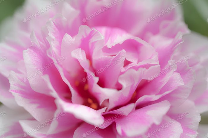 Close-up view of sweet pink flower