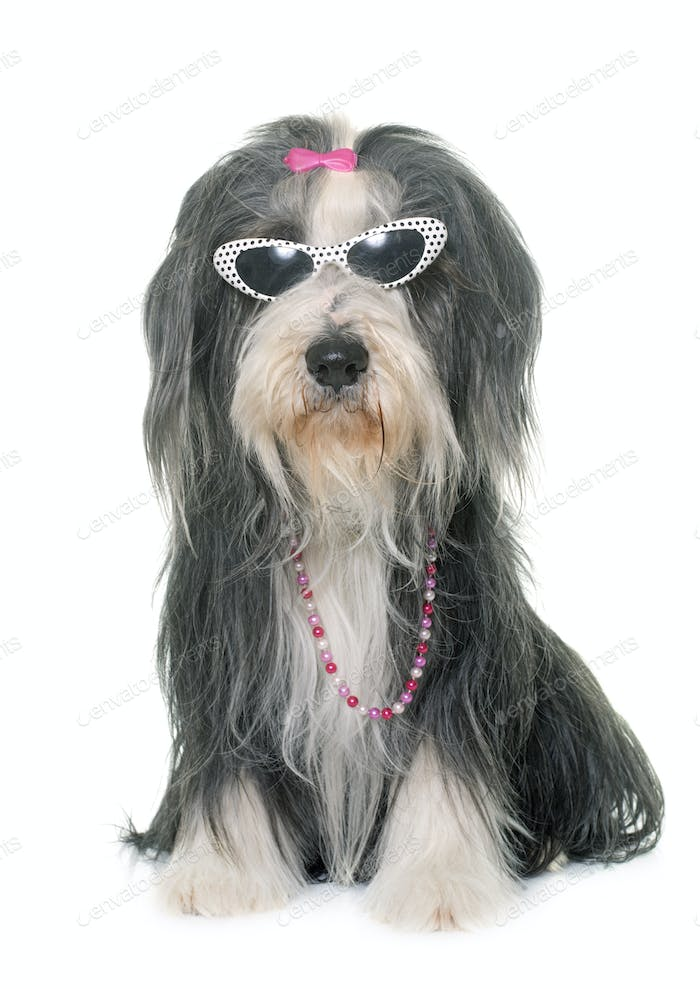 female bearded collie and sunglasses