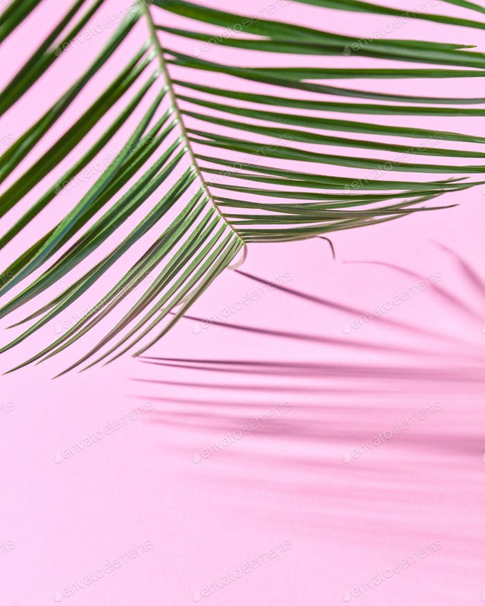 Palm leaf on a pink cardboard background with a copy of the spaciousness and shadow pattern