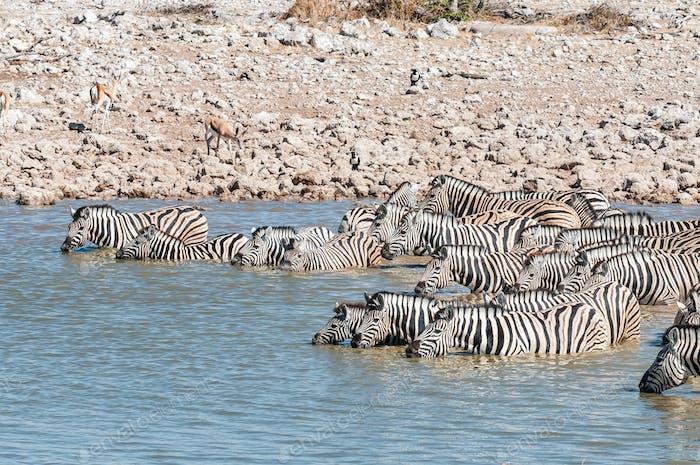 Burchells cebras de pie en un agujero de agua para beber