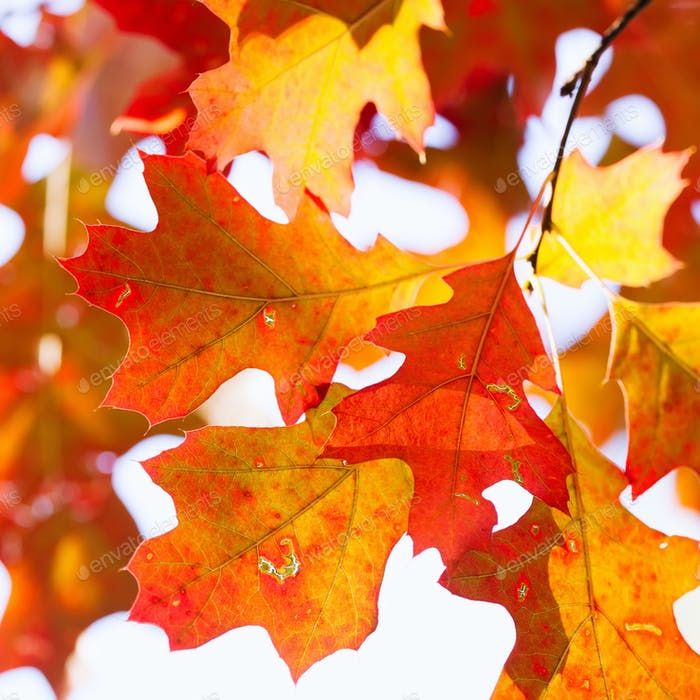 Red oak tree branch with colorful yellow orange brown leaves.