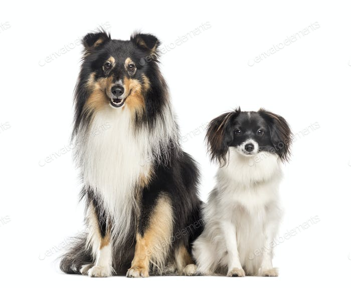 Shetland Sheepdog and papillon
