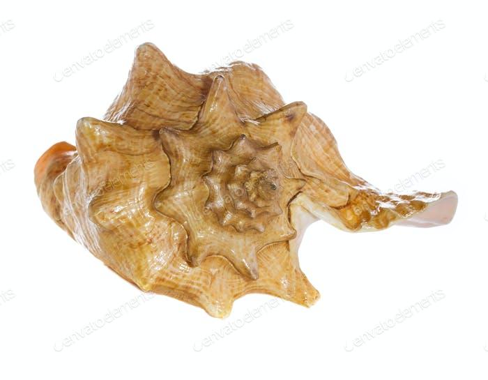 Thumbnail for sea shell