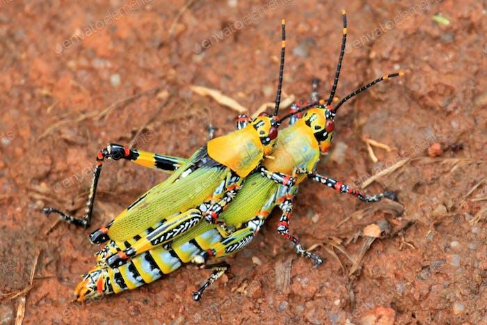 Grasshopper - Remote Western Uganda