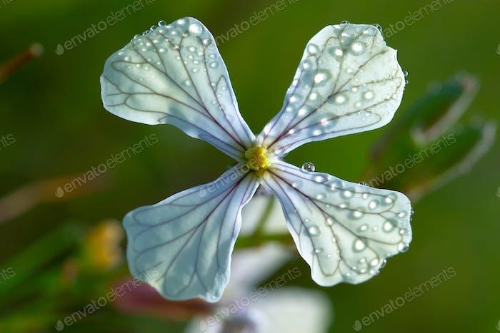 Cruciferous Flower