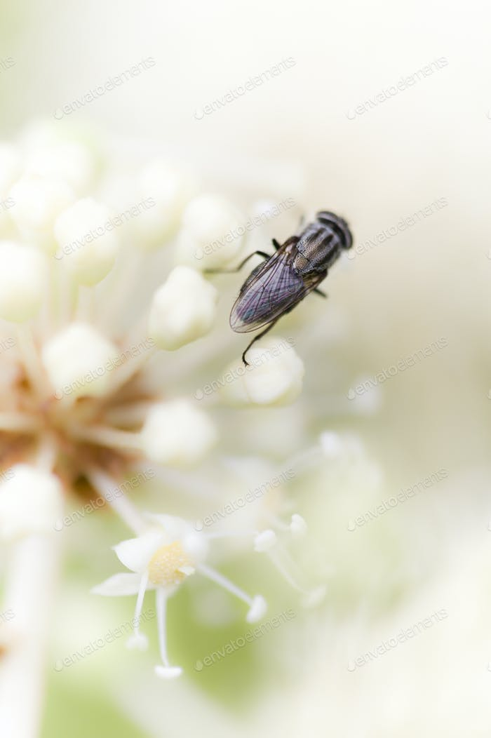 Black fly on white flowers